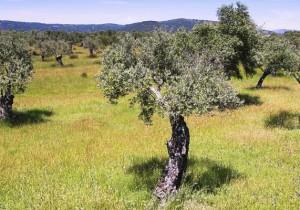 Ruta aceite de Cáceres - Guía Repsol de alimentos y bebidas