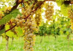 Vinos blancos secos naturales - Guía Repsol de alimentos y bebidas