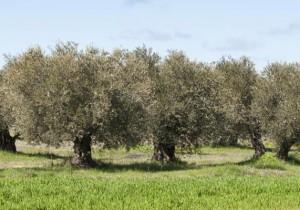 Entre olivos de La Alcarria madrileña