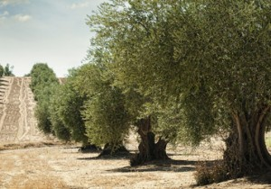 Olivos Alcarria madrileña