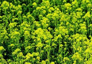 Una hortaliza milenaria