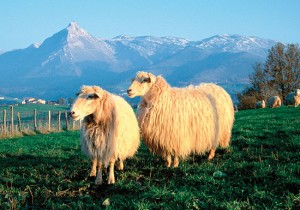 La joya gastronómica de la oveja latxa